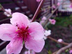 #nectarine #flower