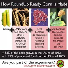 How RoundUp Ready Corn is Made. It kills your gut! GO ORGANIC! RealHealthSolns.com