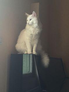Piano Cat ^^ Turkish van male Faco