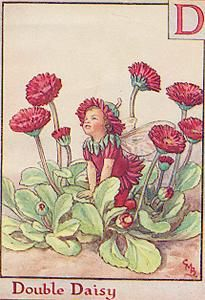 Double Daisy Flower fairy  by Cicely Mary Barker