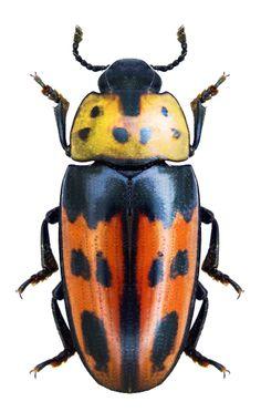 Scaphidomorphus quinquepunctatus Linnae 1767 / Guyane