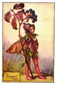 Dogwood Flower Fairy » Flower Fairy Prints- Vintage Fairy Prints by Cicely Mary Barker for sale