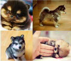 Pomsky! I dont like little purse dogs but come on this is too cute! I must have one!