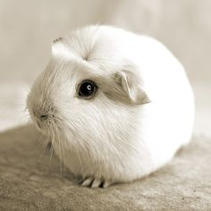 Cute guinea pig :)   ...........click here to find out more     http://googydog.com