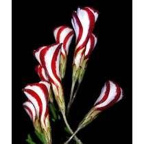 30 Sementes Copo De Leite Bicolor Planta-flor-bonsai+ Brinde
