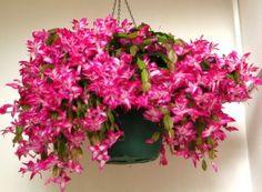 Crăciuniță înflorită, o splendoare! Succulent Soil, Succulents, Indoor Garden, Indoor Plants, Garden Nook, Christmas Cactus, Winter Flowers, Gardening Gloves, Potting Soil