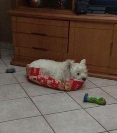 Orfeas Westie Highlands Terrier, West Highland Terrier, Westies, Muffin, Dogs, Animals, Animales, Animaux, Pet Dogs