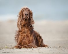 """Tallow - a photo of my Irish Setter """"Tallow"""" at the beach.  This is what an Irish Setter looks like when he hasn't been clipped in waaaaaaay too long"""