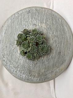 Graptopetalum bellum Succulent Arrangements, Picture Design, Cactus, Pictures, Art, Ideas, Succulents, Photos, Art Background