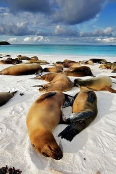 Galapagos Island lazing with the sea lions! www.finisterra.ca #travel #galapagos #ecuador