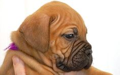 bull mastiff puppies - Google Search