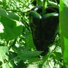 Poblano Uses And Care: Learn About Growing Poblano Peppers In The Garden