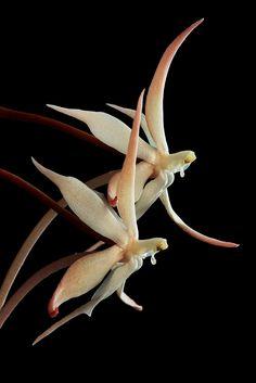 Aerangis distincta - My site Strange Flowers, Unusual Flowers, Rare Flowers, Types Of Flowers, Amazing Flowers, Beautiful Roses, Beautiful Flowers, Weird Plants, Exotic Plants