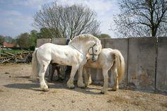 Boulonnais Horse | Onix de Tachincourt, 1.87 m height