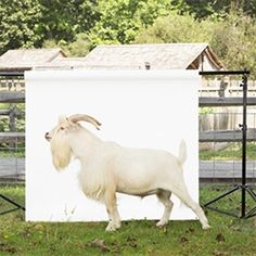 Ty Foster's Hecksher Farm livestock portrait series was a collaborative effort with the Stamford Museum & Nature Center that runs the farm. Love the images, especially the highland cow! Nature Center, Livestock, Farm Animals, Animal Photography, Mammals, Past, Cow, Museum, Stamford