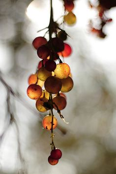 These grapes have been kissed by the Autumn Fairies, allowing a magical almost balloon effect as you look through the light at them.