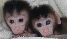 Creados los primeros monos transgenicos 'a medida' http://sociedad.elpais.com/sociedad/2014/02/02/actualidad/1391353463_071898.html