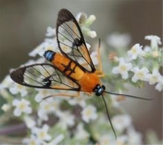 Mexican Blue Tailed Fly  Actually not a fly but a Tiger Moth
