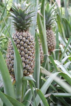 The fruits of Queen Pineapples are eaten and the leaves are used for piña cloth in the Philippines