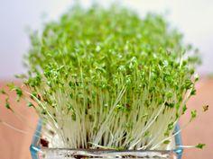 graines germées (1)