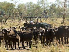 Kruger se buffels