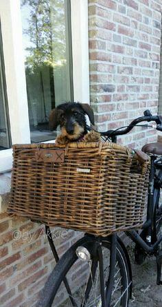 Dachshund Cuteness in Bike a Basket!