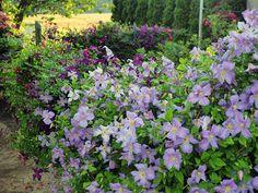 Zielono Zakręceni: Powojnik 'Emilia Plater' (1/1) Edible Garden, Clematis, Flowers, Plants, Decor, Lawn And Garden, Decoration, Vegetable Garden, Vegetable Gardening