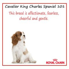 Cavalier King Charles Spaniel 101