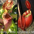 Nepenthes viking x Ampullaria x viking x rafflesiana More than 150 different types of insects have been identified as victims, but also arachnids (spiders and mites), mollusks (snails and slugs), earthworms, and small vertebrates (small fish, amphibians, reptiles, rodents, and birds) are known to have been caught. The largest animal ever found trapped in one of the plants was a small rat.