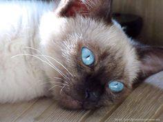 The Mystique of Siamese Cats | Siamese Cat Spot