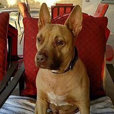 Gilbert, Arizona - Shar Pei. Meet Pumba, a for adoption. https://www.adoptapet.com/pet/20063385-gilbert-arizona-shar-pei-mix