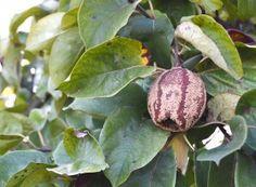 Gutui putrezit în urma atacului de monilioză Eggplant, Diy And Crafts, Vegetables, Paradis, Dates, Gardening, Plant, Veggies, Lawn And Garden