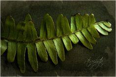 Apologia Botany - Pterophyta