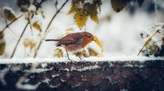 No.333 - Forager - Number 333 of my 365 photo challenge - A cross-processed and split-toned image of a Robin looking for food in freshly fallen snow.  It would appear Winter is here! So, I know this is a common bird but I have never photographed a bird for the challenge. Also, I am borrowing a friends 400mm lens and 1.4x teleconverter for a sporting engagement I have to photograph and I need to get some practice with the behemoth before the big day. I took this on my 70D rather than my 6D…