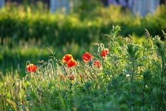 #Mohnblumen in der #Abendsonne