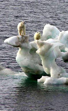 NOTES: The polar bears are losing their habitat.