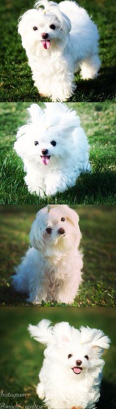 Looks just like Lexi!!! #maltese