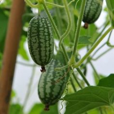 How to grow Mouse Melons
