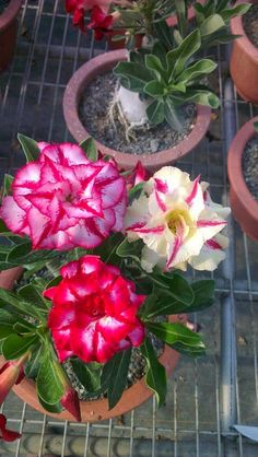 Genuine Adenium obesum Seeds, 12 Pcs Desert Rose Flower Seeds, kinds mixed bonsai Perennial plants for home & garden Unusual Plants, Exotic Plants, Cool Plants, Bonsai Plants, Garden Plants, House Plants, All Flowers, Amazing Flowers, Beautiful Flowers