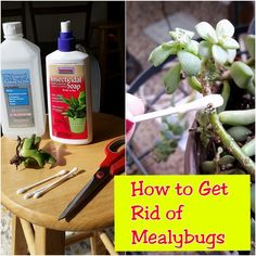 Mealybugs are a pain in the booty! To learn more about them, see my previous post. To learn how to get rid of them... read on.