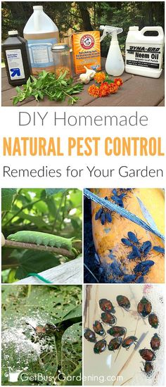 Don't use chemical pesticides to control bugs in your garden; they do more harm than good! Use these natural pest control remedies, and work WITH nature!