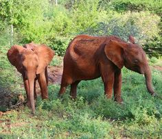"""dswt: """"Elephants never cease to amaze us. Remember #Araba the calf we rescued in October? Although she is a robust two-year-old she is still milk-dependent so we are caring for her at our #DSWT Voi Reintegration Centre.  When graduate orphan Emily and her herd visited the stockades last month they clearly took a shine to little Araba and tried to whisk her off to the wild. Our Keepers were understandably stressed; we ensure that each elephant orphan naturally transitions back into the wild…"""