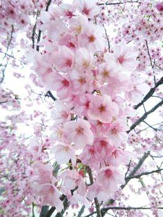 桜のシーズン到来♪