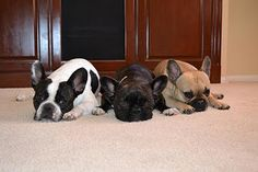 frenchies :) ahh i want one so bad