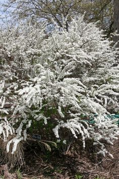 white-spirea