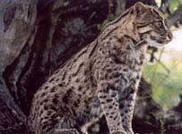 Fishing Cat Facts | Big Cat Rescue