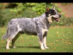 Australian Cattle Dog Show 2016 WKC Westminster Kennel Club