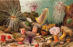 Sea Anemones Antique Chromolithograph by carambas on Etsy, $16.00