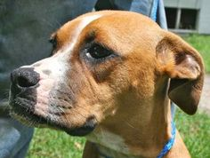 Gracie is an adoptable Boxer Dog in Chipley, FL. Gracie is a 6 to 8 month old female Boxer cross, about 25 to 30 pounds. She is a very well socialized pup, loving, calm and well mannered. This little ...
