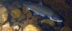chinook-salmon_header